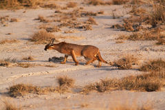 Caracal - Safari kenya. The amazing picture of the rare feline caracal, during the sunset, in Kenya Stock Photos