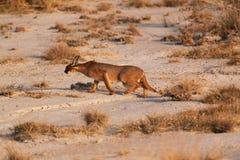 Caracal - Safari kenya Stock Photos