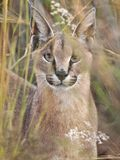 Caracal sauvage dans les herbes grandes Images stock