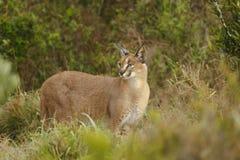 Caracal selvagem adulto na vegetação do savana Imagens de Stock Royalty Free