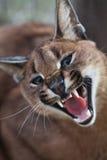 caracal skratta Royaltyfri Fotografi