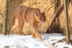 Caracal in snow Stock Photo
