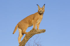 Free Caracal, South Africa Stock Photo - 24472440