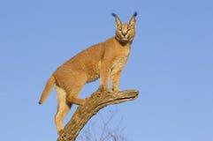Caracal, South Africa. Caracal (Felis caracal) up high on a dead log, South Africa Stock Photo
