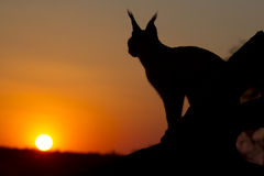 Caracal, South Africa. Caracal (Felis caracal) up high on a dead log at sunset in South Africa Stock Photography