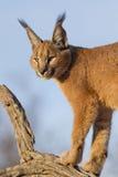 Caracal, South Africa. Caracal (Felis caracal) up high on a dead log in South Africa Stock Photography
