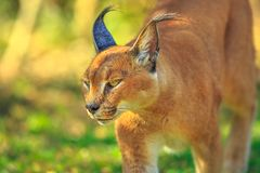 Caracal South Africa stock photo