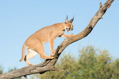 Caracal, South Africa, snarling on tree branch royalty free stock photo