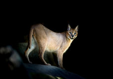 Caracal standing on rock Stock Photo