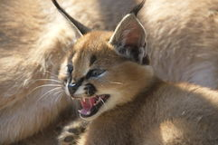 Caracal. A threatened Caracal on a defensive pose Royalty Free Stock Photo