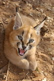 Caracal. A threatened Caracal on a defensive pose Stock Photo