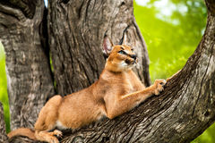 Caracal in tree. Close up of wild caracal cat stretching in tree Royalty Free Stock Image