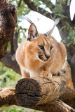 Caracal on tree Royalty Free Stock Image