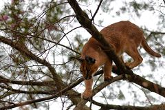 Caracal in tree 1 Stock Image
