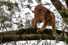 Caracal in tree 2 Stock Photo