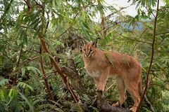 Caracal in tree 4 Royalty Free Stock Photo