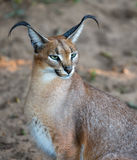 Caracal Wild Cat Portrait. Beautful caracal or African lynx with long tufted ears Stock Photography