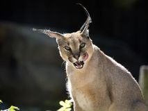 Caracal, a portrait Stock Images