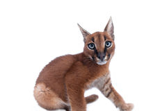 Caracal Young Cat Royalty Free Stock Photography