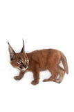 Caracal Young Cat. One young caracal cat on white background Stock Image
