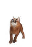 Caracal Young Cat. One young caracal cat on white background Royalty Free Stock Images