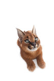 Caracal Young Cat Stock Images