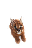 Caracal Young Cat. One young caracal cat on white background Stock Photography