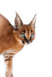 Caracal Young Cat Stock Photo