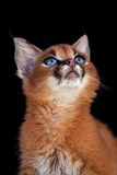Caracal Young Cat Royalty Free Stock Photos