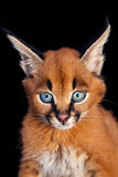 Caracal Young Cat. One Caracal Kitten on black background Royalty Free Stock Images