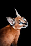 Caracal Young Cat Portrait. One young caracal cat on black background Royalty Free Stock Photo