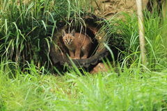 Caracal. Young caracal  gazing from the hollow trunk Royalty Free Stock Photography