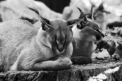 Caracal in zoo Royalty Free Stock Photography