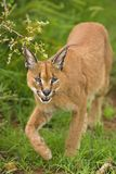 Caracal9 Fotografia de Stock