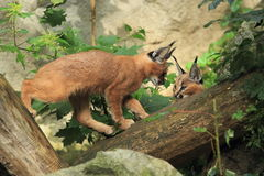 Caracals Stock Photography