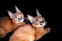 Caracals年轻猫画象 免版税库存照片