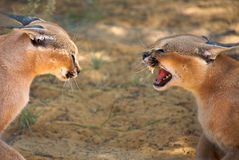 Caracals fighting Stock Photos