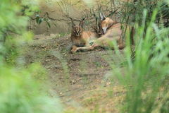 Caracals Stock Photos