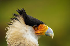 Caracara Bird Face Stock Images