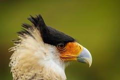 Caracara Bird Face. Closeup portrait of the face of a caracara bird of prey Stock Images