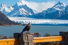 Caracara bird posing in front of Perito Moreno Glacier, Argentin Royalty Free Stock Photo