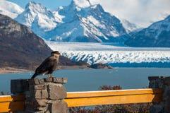 Caracara bird posing in front of Perito Moreno Glacier, Argentin Stock Photography