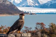 Caracara bird posing in front of Perito Moreno Glacier, Argentin Royalty Free Stock Photography