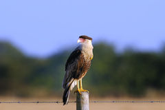 Caracara cheriway, northern crested caracara Stock Photos