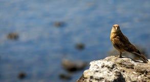 Caracara Chimango, остров пасхи, Чили Стоковая Фотография RF