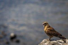 Caracara Chimango, остров пасхи, Чили Стоковые Фотографии RF
