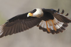 Caracara con cresta adulto en vuelo - Tejas Fotos de archivo