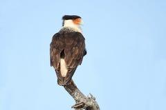 Caracara con cresta adulto encaramado en una rama muerta Fotografía de archivo libre de regalías
