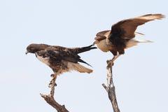 Caracara con cresta que tira en el ala de un halcón Blanco-atado Fotos de archivo