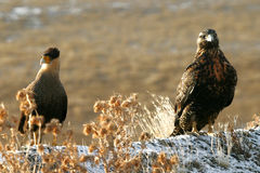 Caracara and Eagle. Patagonia, Argentina Stock Images
